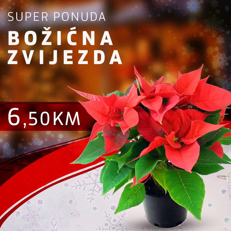 Božićna zvijezda 6,50KM